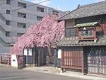 河原町のしだれ桜