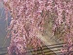 六郷堀に垂れる桜